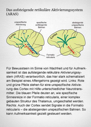 Schema des aufsteigenden retikulären Aktivierungssystems (ARAS) im Affengehirn und seiner Wechselwirkungen mit dem Cortex. Grafikerin: Meike Ufer [nach Birbaumer, Schmidt 2010]