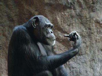 WEil sich Menschenaffen wie dieser Schimpanse nur ungern in einen Computertomographen begeben, arbeiten die Forscher mit Verhaltensstudien, um die geistigen Fähigkeiten der Tiere zu ergründen. Copyright: Ulrich Pontes