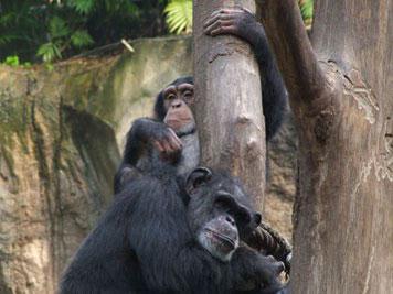 Schimpansen wie diese zwei Exemplare im Leipziger Pongoland verfügen über eine grundlegende Theory of Mind. Mit Falschen Vorstellungen der Artgenossen können sie jedoch nicht umgehen. Copyright: Ulrich Pontes