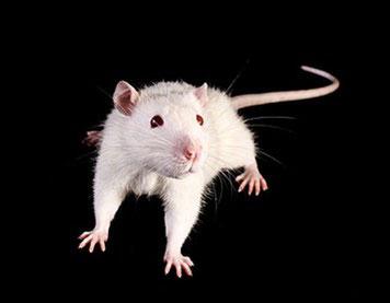 Mit genetisch veränderten Mäusen suchen Forscher nach den Sequenzen im Erbgut, welche die Empathiefähigkeit beeinflussen könnten. Copyright: Africa Studio – Fotolia.com