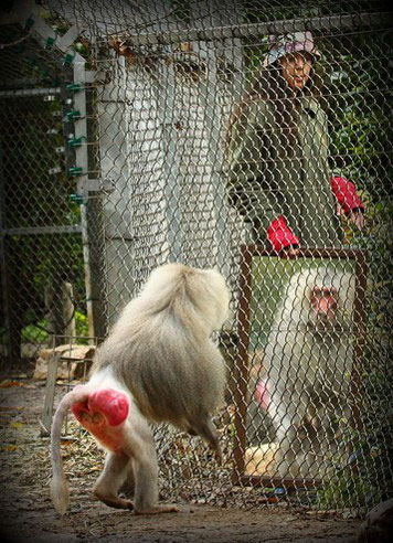 Pavian beim Spiegel-Test. Copyright: Moshe Blank / Wikimedia Commons