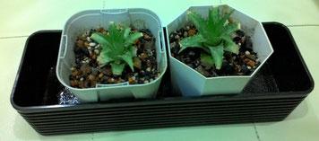 ミニパイン鉢植え