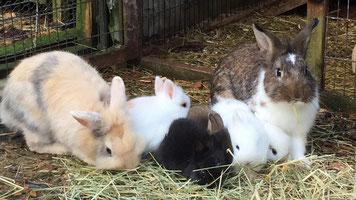 Zwergkaninchen und kleine Kaninchenbabys