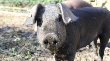 Schwäbisch-Hällisches Duroc Schwein im Schlamm