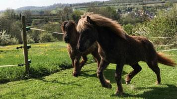 Islandpferde auf grüner Weide