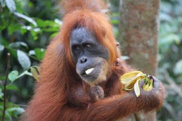 Dich könnten auch meine Bilder aus Sumatra interessieren - der Orang Utan wartet schon :-)