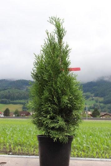 Thujapflanze in einem Topf