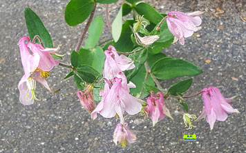 Rosa Blüten der Akelei mit Staubgefässen und grünen Blättern von K.D. Michaelis