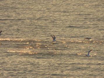 小魚の群れによってきた海鳥達