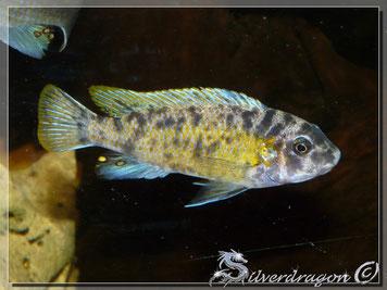 jeune mâle OB (35ème Meridien)