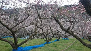 岩田奥【上部成木】 2016開花状況