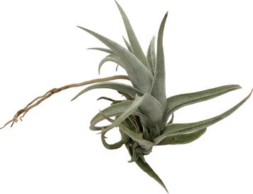 Tillandsia xiphioides fuzzy