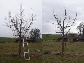 Mein erster selbst geschnittener Baum vorher - nachher