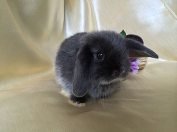 Купить вислоухого кролика