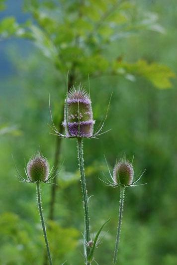 DSC_4912_Cardère sauvage-Cabaret des oiseaux-Dipsacus fullonum-Caprifoliaceae