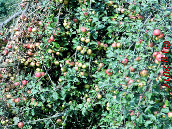 Apfelernte 2017 - alte Streuobstwiese liefert Äpfel, die es kaum noch gibt: sauer u. saftig