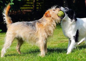 Deux chiens se disputant une balle de tennis Crédit : CC0
