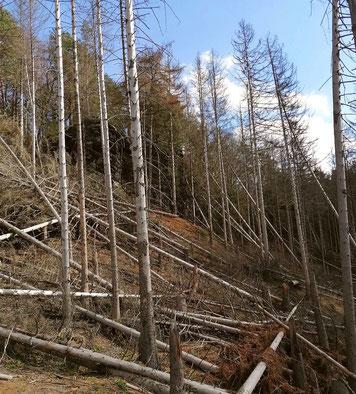 Wanderweg im Großen Zschand durch umgebrochene Bäume unpassierbar.