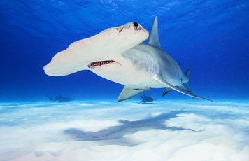 science, hammerhead shark, hammerhead shark swimming