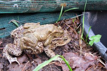 Ein Erdkrötenweibchen mit dem kleineren Männchen auf dem Rücken nähert sich dem rettenden Eimer an einem Krötenzaun.