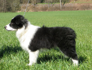 Entwicklung Border Collies From Idaias Shadow