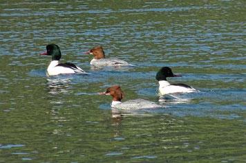Gänsesäger Enten - seltsamer Name und seltsame Optik