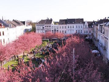 Kirschlüten auf dem Alexanderplatz Krefeld (Foto: Michael Otto)