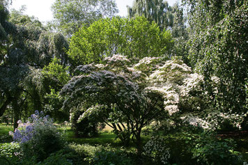 Blühende Gehölze zwischen verschiedenen großen Bäumen