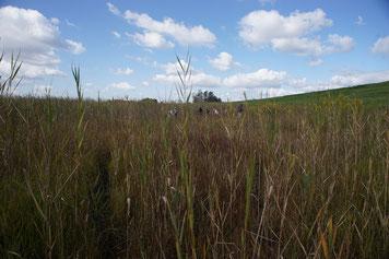 画像:渡良瀬遊水地でもヨシが低い草原