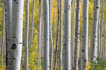Birke, Wald, Baum, Stamm, Borke