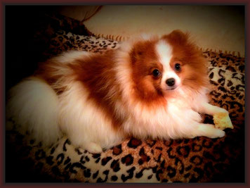 "Pomeranian Hündin Marions Pom's AINT SHE SWEET PARTI Rufname:""Isabell""."