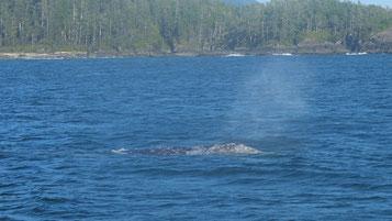 ein Grauwal!