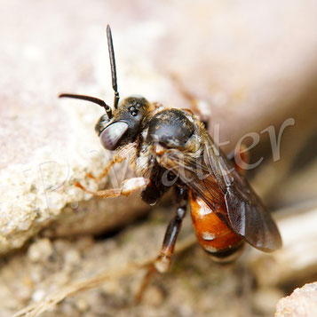 Bild: eine Schmuckbiene, ein Parasit bei der Waldschenkelbiene