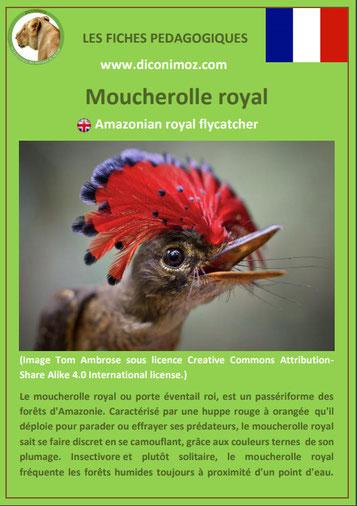 fiche animaux meconnus pdf moucherolle royal imprimer telecharger