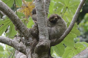 paresseux gorge brune contre unau