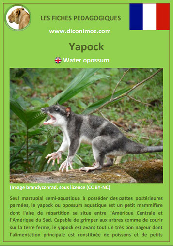 fiche animaux meconnus pdf yapock imprimer telecharger