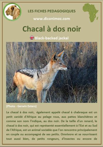 fiche animaux afrique pdf chacal dos noir imprimer telecharger