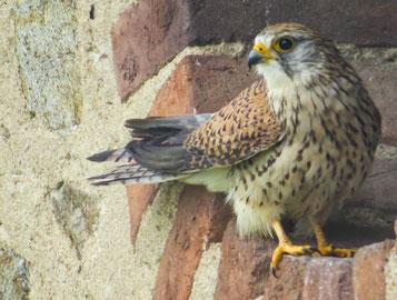 fiche animaux oiseaux faucon crecerelle vs faucon pelerin