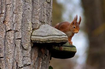 liste des sciurides animaux ecureuil