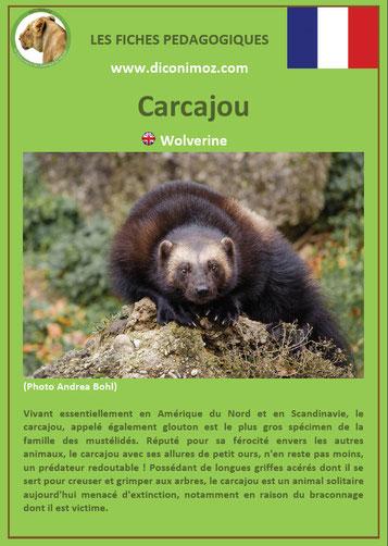 fiche animaux pdf canada carcajou amerique du nord imprimer telecharger
