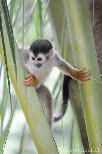 fiches animaux singe ecureuil