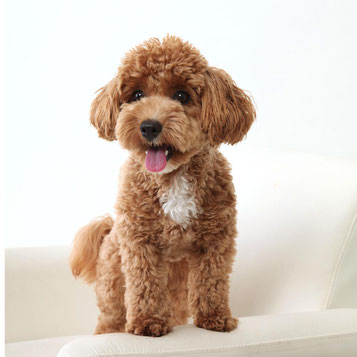 マルプー犬の撮影