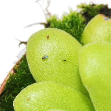 Die fleischfressende Pflanze erkennt man an ihrer typischen Blattrosetten-Form ist eine Geheimwaffe gegen Trauermücken.