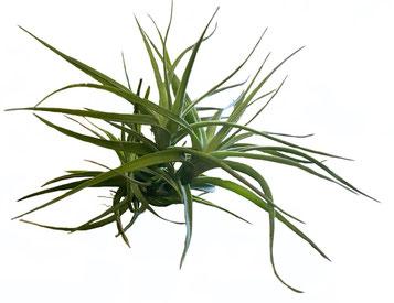 Tillandsia bergeri x Tillandsia tenuifolia