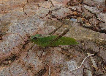 緑のタイワンクツワムシ