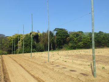 植え付け直後のホップ畑(内陸側)