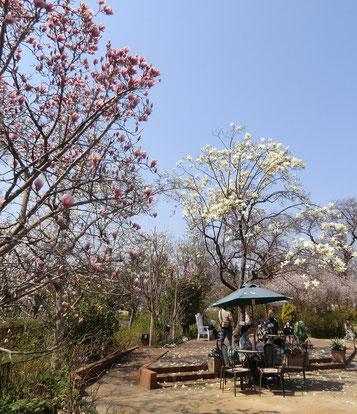 園内は、百花繚乱でしたが、マグノリア園がちょうど見ごろでした