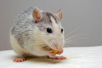 Image d'un rat domestique, petit rongeur
