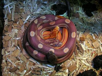 Kornnattern Bloodred striped, Sunglow striped und Ultramel motley