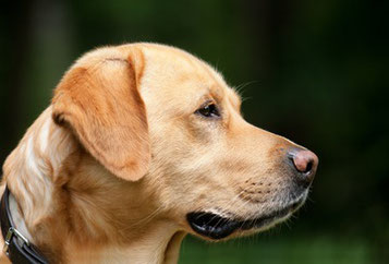 Labrador sable de profil